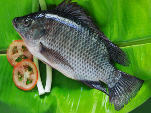 Black-Tilapia-Fish